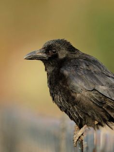 Carrion crow - This photo shows a brownish bird, but if you've seen this bird in the wild you'll know it's black.