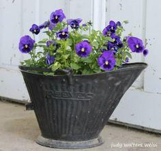 Pansies in my Grandpaps old coal bucket ~