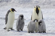 Emperor Penguins at Snow Hill - Emperor Penguins at Snow Hill, Antarctica. Emperor Penguins, Photo Grouping, Cute Penguins, Antarctica, Spirit Animal, Birds, Snow, Island, Detail