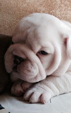 beautiful white baby bully!