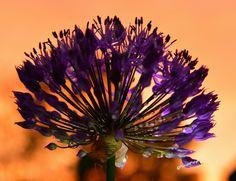Allium im Abendlicht