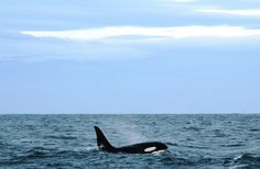 Orca Aware - Polluted Orca – How Chemicals Are Killing the World's Orcas...
