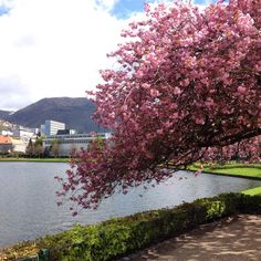 Evelyns snapshot from Bergen. Cherry tree in blossom.
