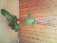 Rozmnožování orchideje - Orchideje jak pěstovat doma