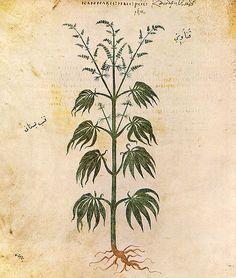 Cannabis Sativa L. - 512 A.D.  from Vienna Dioscurides, Austrian Nationalbibliothek, Graz
