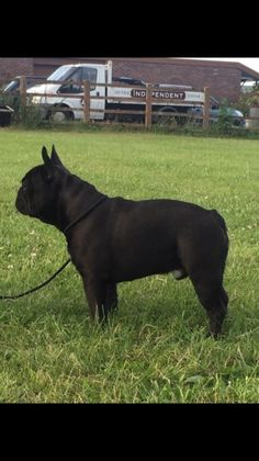 **UPDATE** Pups have now had :- vaccination paid for by my vets *microchip *health check *flea and worm treatment Beautiful French bulldog p Southampton, Hampshire, Fleas, French Bulldog, Pup, Horses, Dogs, Animals, Animales