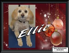 🤶This Little Diva - Ellie! She got all tidied up just in time for the holidays. Little Diva, Tidy Up, Small Breed, Dog Grooming, Snoopy, Holidays, Dogs, Animals, Fictional Characters