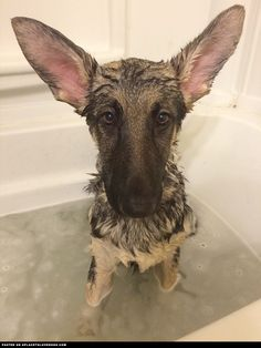 German Shepherd Puppy Bath Time ::: Visit our poster store Rover99.com