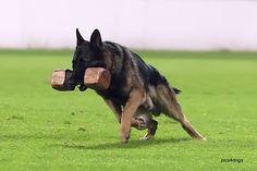 retrieve #german #shepherd #dog