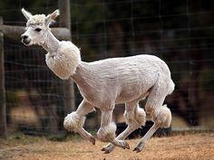 Alpacadoodle! @amsberg