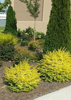 Southern Living® Plant Collection Sunshine Ligustrum - front yard landscaping ideas for full sun Landscaping Plants, Sloped Garden, Plants, Front Landscaping, Southern Living Plants, Landscape Design, Garden Shrubs, Front Yard Landscaping, Southern Living Plant Collection