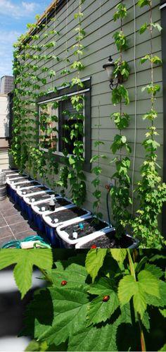 growing hops   July 2013 update