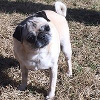 Newt 8 years old  | DFW Pug Rescue - http://DFWPugs.com