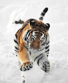 Amur Tiger playing with a ball covered in snow