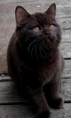 Black kitten ♥ Look at those caramel eyes!