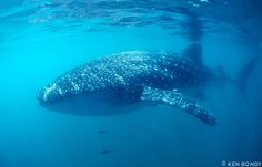 Whale Sharks, Rhincodon typus, are the biggest sharks and the biggest fishes in the ocean. They are NOT whales nor are they dangerous to humans (like nearly all sharks). They have a distinctively wide mouth at the very front of their head (rather than on the underside like most sharks).