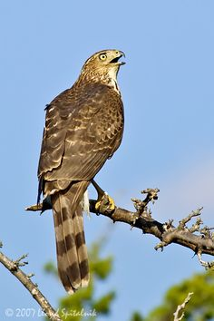 Great Cooper's Hawk photo #Coopers #Hawk