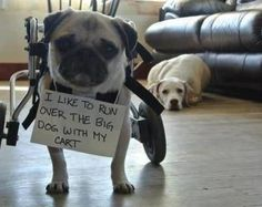 here are some adorable mug shots of adorable pugs. we accept photos of your pugs. pugs in costumes. pugs in cartoon. pugs in videos. pugs in love. mug pug. Love My Dog, Pug Love, Funny Dogs, Funny Animals, Cute Animals, Cute Pugs, Cute Puppies, Game Mode, Image Pinterest
