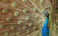 Paw, sztuka cyfrowa, piękny ptak, Paw, piękny ptak, piór, luksusowe ogon wektor