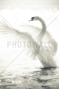 Graceful Swan - Wall Mural & Photo Wallpaper - Photowall