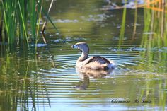 https://flic.kr/p/vfSKGj | Pied-billed Grebe | Miners Marsh, Kentville, NS