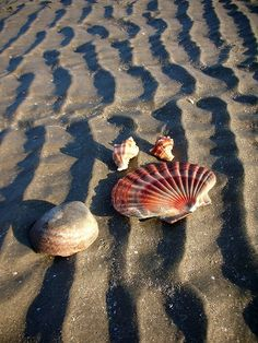 sand furrows and shells (& one of my favorite shells- the flat scallop! I know that not the real name, but that's what I call it.)
