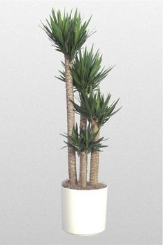 Indoor Palm Trees - Yucca Palm Place near window/door where it can get indirect sunlight. Palm Trees Garden, Indoor Palm Trees, Indoor Palms, Indoor Plants Low Light, Best Indoor Plants, Cool Plants, Yucca Plant Indoor, Living Room Plants, House Plants