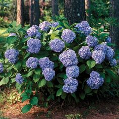 All Summer Beauty Hydrangea (Hydrangea macrophylla All Summer Beauty) - pink or blue depending on soil - may rebloom - gets yellow leaves in fall
