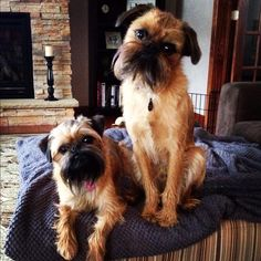 Maci and Dutchy, two Brussels Griffon Dog Pals Brussels Griffon Puppies, Griffon Dog, I Love Dogs, Puppy Love, Beautiful Dogs, Amazing Dogs, Griffon Bruxellois, Companion Dog, Rat Terriers