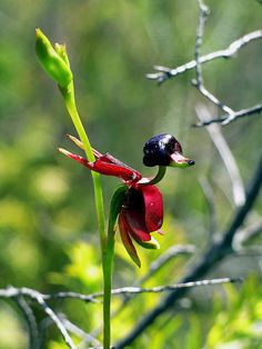 The Flying Duck Orchid by Robert Andrew Price, via Flickr