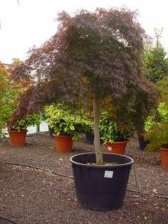 Acer palmatum Garnet (Dunkelroter Schlitzahorn) kommt aus Japan und ist eine eher kleiner Strauch, der aber durch die weit ausladende Krone begeistert. Benötigt nicht viel Platz, sieht aber wunderbar aus...