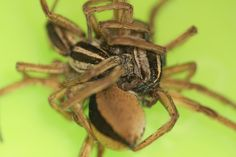 Photos: That's a Lot of Legs! Wolf Spiders Caught Having Threesomes | http://sibeda.com/photos-thats-a-lot-of-legs-wolf-spiders-caught-having-threesomes/