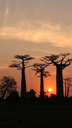 Madagascar Avenue Of The Baobabs