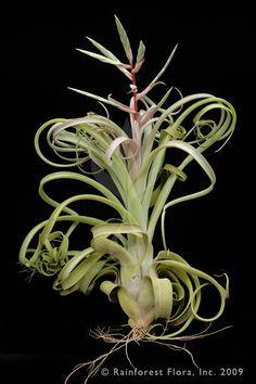 Tillandsia intermedia ✖︎ streptophilla (curly slim)