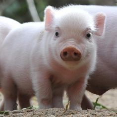 Pretty piglet