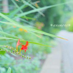 #ヒメヒオウギズイセン#姫檜扇水仙#montbretia#flower