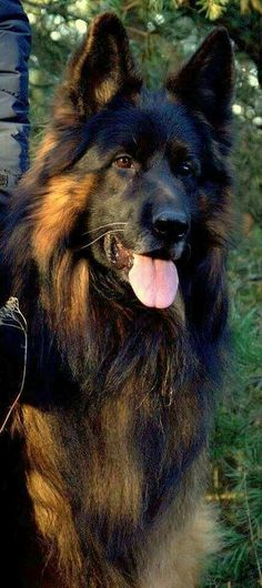 Wicked Training Your German Shepherd Dog Ideas. Mind Blowing Training Your German Shepherd Dog Ideas. Long Haired German Shepherd, German Shepherd Dogs, Black German Shepherds, King Shepherd, Black Shepherd, Shiloh Shepherd, German Shepherd Pictures, Yorkshire Terrier Puppies, Schaefer