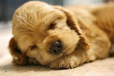 Looks like someone needs an after #lunch nap! #Sleepy #CockerSpaniel #DogMom #DogDad #Dogs #Dog #DogLover #RescueDog #ShelterDog #Naps