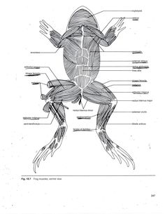 Frog Muscle Anatomy Muscular System Of The Frog Human