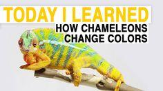 TIL: How Chameleons Change Color | Today I Learned
