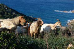 Sardinian goats