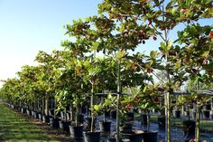 http://treeworldwholesale.com/en/fast-growth-rate/19-terminalia-catappa.html
