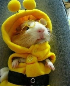 There's a buzz going around-That I'm dressed like a bee-They gave me these glasses-So that I could see-I'm definitely undercover-As to what I am- But I'm a cute little guinea pig-And my name is Sam-Being undercover-Will not change a thing-I am sweet and gentle-With no desire to sting-You may want to dress me-To please yourself-But I am who I am-I am myself.