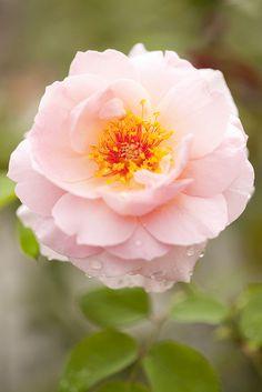 Shrub rose Rosa Belle Story