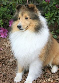 ❤️ Shetland Sheepdogs! This one is a cutie.