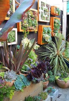 Vertical succulent gardens. Like this picture because it shows how big they get too. I'd like mine to grow that big.