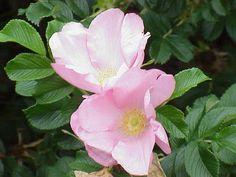 Rosa rugosa0 - Rosa 'Fru Dagmar Hastrup' - Wikipedia, the free encyclopedia