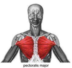 Pectoralis Major Muscle | pectoralis major