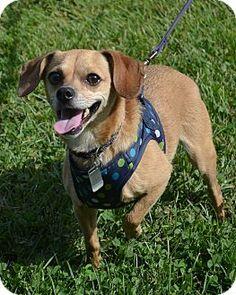 CISCO KID...Mentor, OH - Chihuahua/Dachshund Mix. Meet Cisco Kid, a dog for adoption. http://www.adoptapet.com/pet/12114858-mentor-ohio-chihuahua-mix
