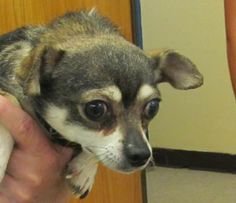 NAPOLEON...FOUND IN CANTON, OHIO...Meet 51  Napoleon a Petfinder adoptable Chihuahua Dog | Canton, OH | Picked up as a stray on 5/21.  Available on 5/27.   $ 86.00 fee includes OH license, DA2PP,...